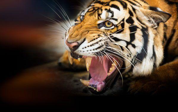 Imputado un técnico de PRL por la muerte de una empleada atacada por un tigre