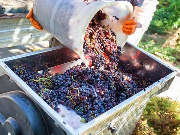 recogida uva