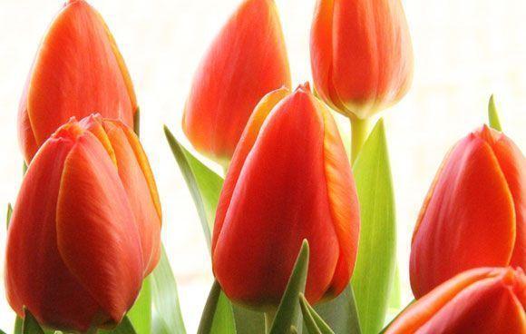 La Sociedad de Prevención de Fremap regalará tulipanes rojos el 28 de Abril