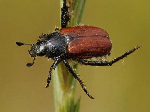 Anthoplia-floricola-