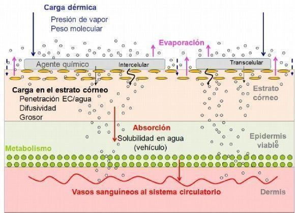 Absorción piel