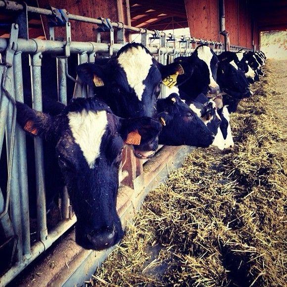 Fent formació (als grangers) #cows #vaques